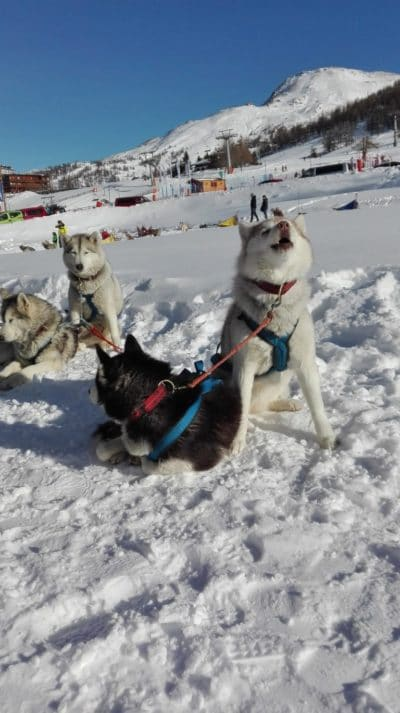 cos'è e dove praticare lo sleddog in Italia-Siberian Huski-Centro Sleddog Sestriere-che cos'è lo Sleddog-jpg