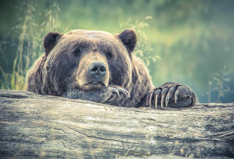 terra degli orsi bruni-kamachatka-orso bruno-primo piano-natura-jpg