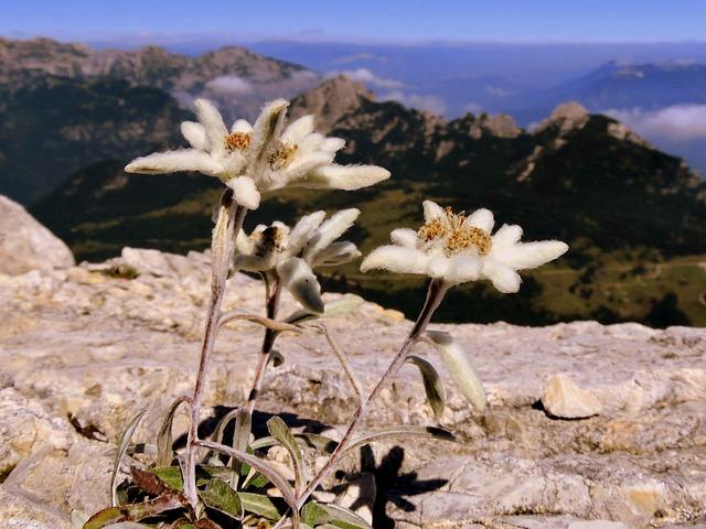 Stella Alpina- Montagna- Piante protette