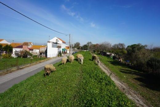 Pecore-Cielo-Verde-Azzurro-Cammino
