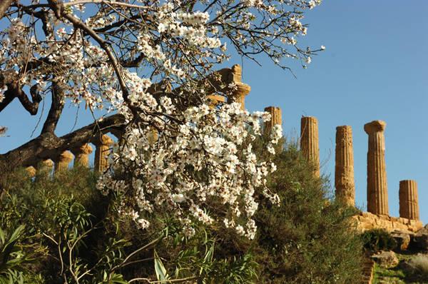 andorlo in fiore-Agrigento-tempio-valle dei templi