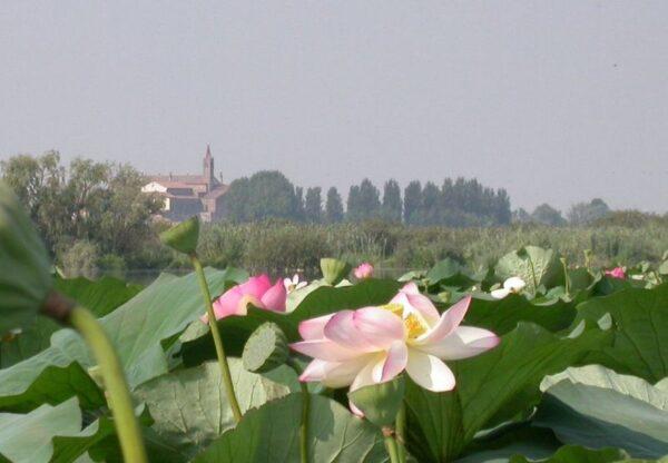 Fioritura fiori di loto- Lago Superiore- Mantova