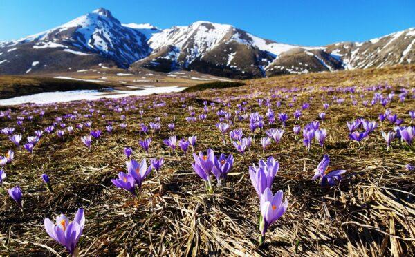 Le più belle fioriture in italia-crochi- campo imperatore. parco del Gran Sasso