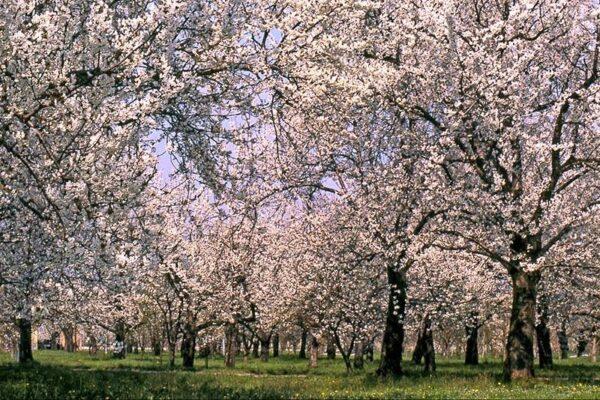 Le più belle fioriture in italia- ciliegi in fiore-vignola-