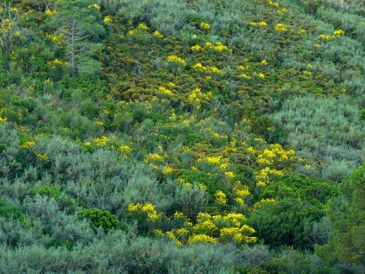 Isola d'Elba- Fioritura delle Ginestre- Costa in Giallo-Macchia Mediterraea